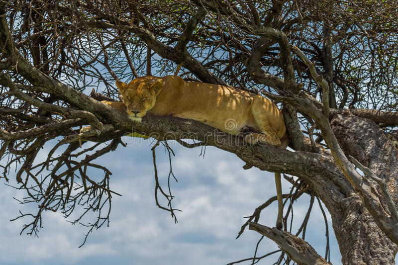 Lioness Asleep In Tree royalty free stock images