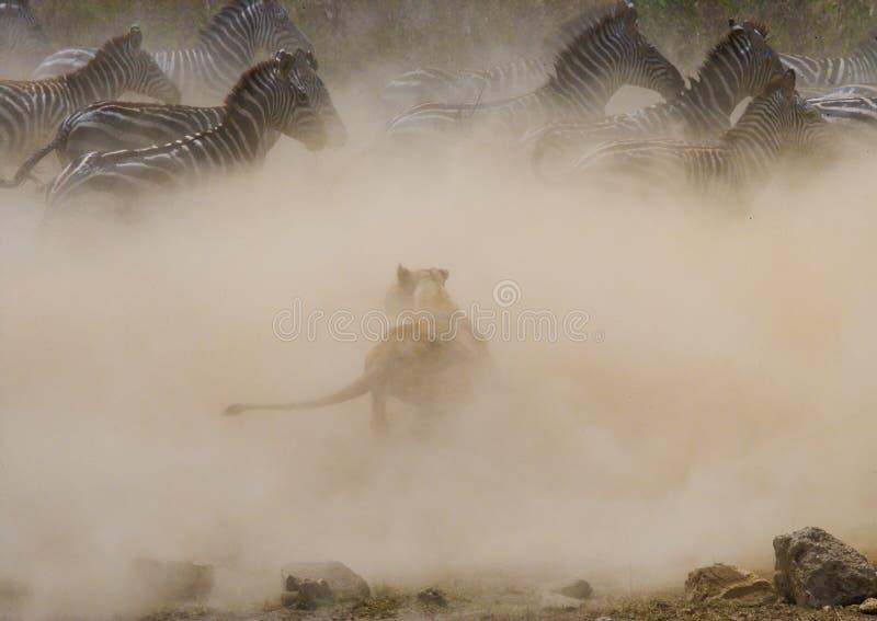 Lioness attack on a zebra. National Park. Kenya. Tanzania. Masai Mara. Serengeti. An excellent illustration royalty free stock images