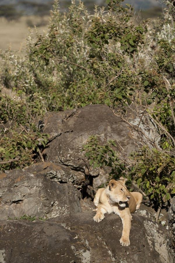 Lioness auf Felsen im Maasai Mara stockfoto