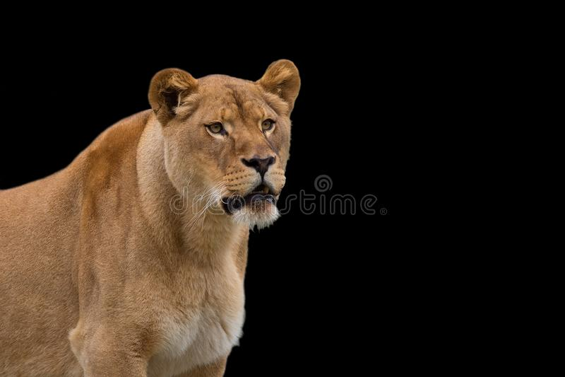 Lioness on a black background stock photos