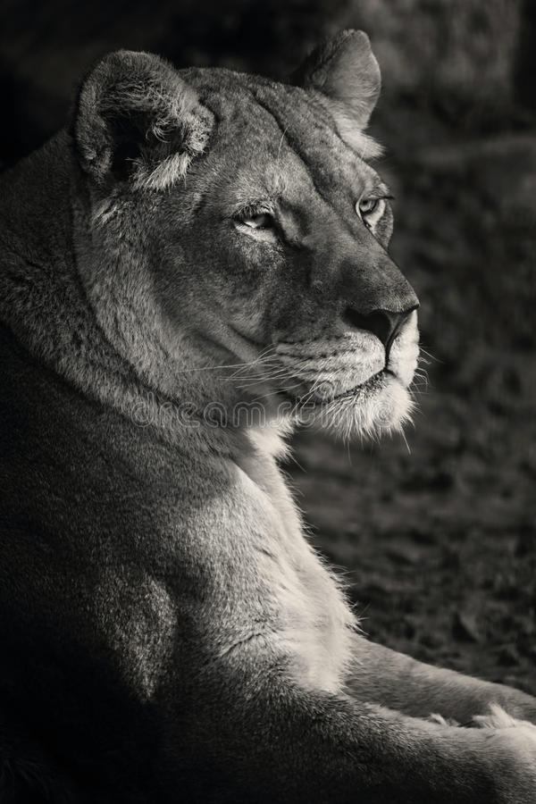 Lioness black and white stock photo