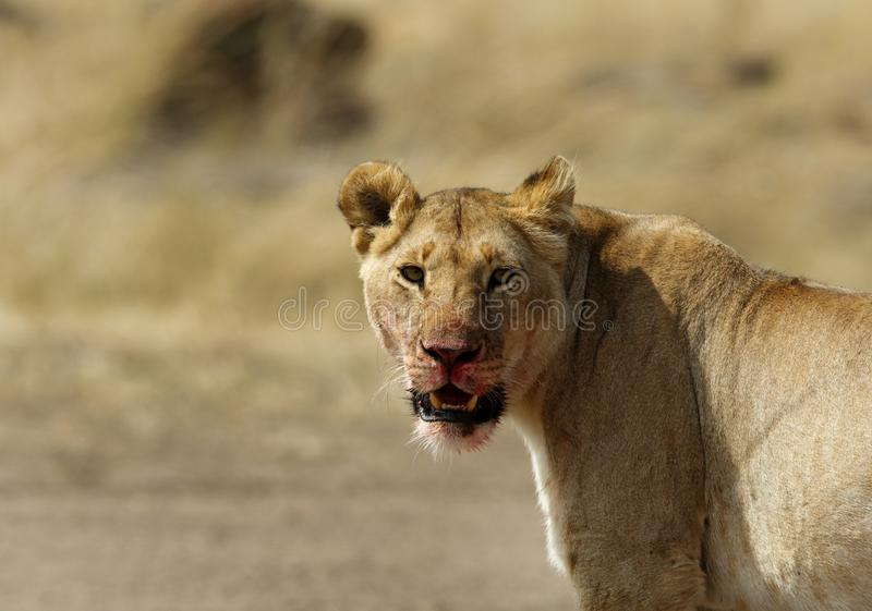 Closeup of Lioness with blood stain. Lioness with blood stain on mouth royalty free stock photos