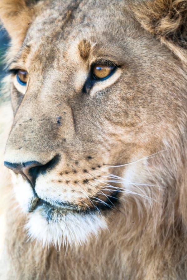 Lioness, Botswana. Lioness, Chobe national park reserve, Botswana africa african wildlife animal animals big 5 five brown carnivore cat cub dangerous ears eye stock photography