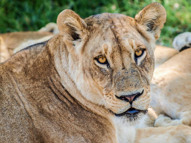 Lioness bright eyes. Lioness looking at camera with bright eyes stock photos