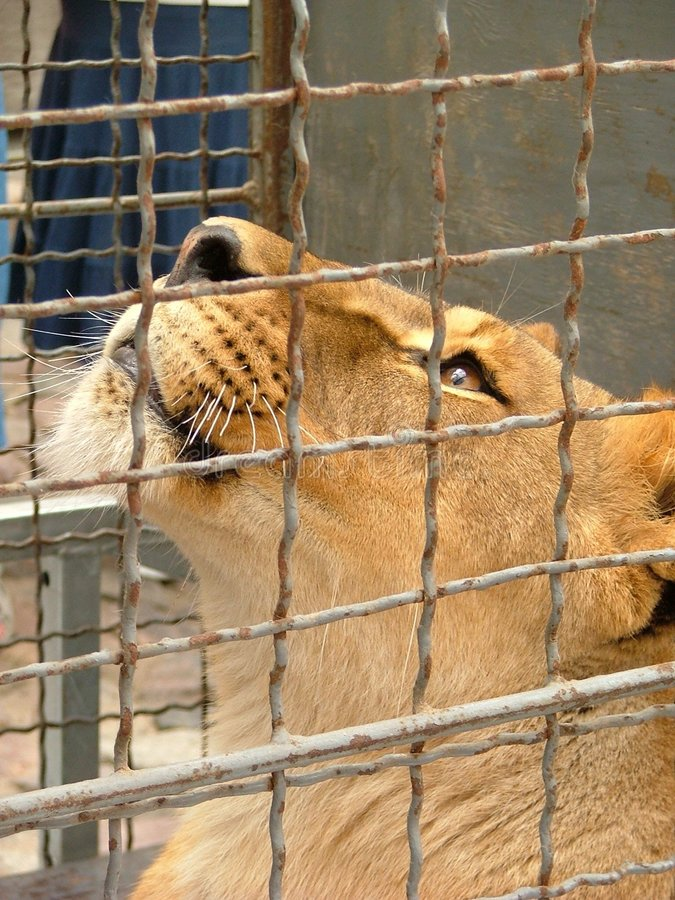 Lioness in cage royalty free stock photos