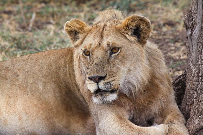 Lioness closeup royalty free stock photo