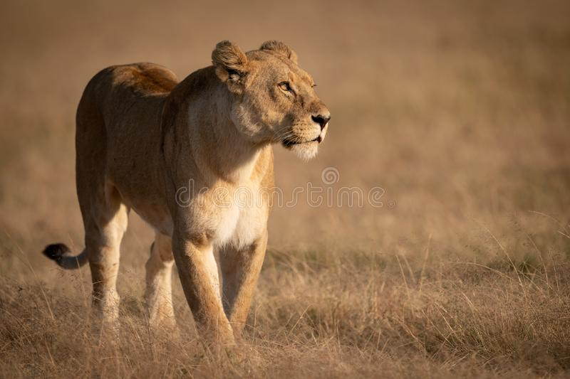 Lioness crosses grass with catchlight in eye royalty free stock photos