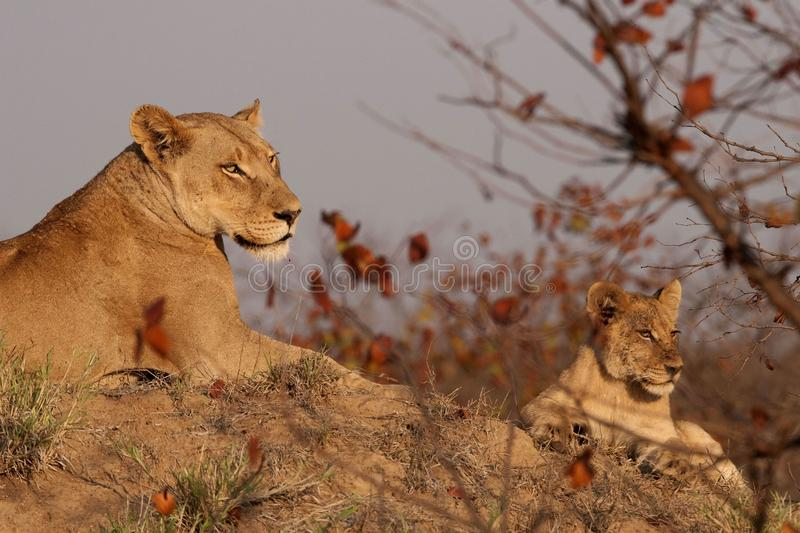 Lioness and cub royalty free stock photos