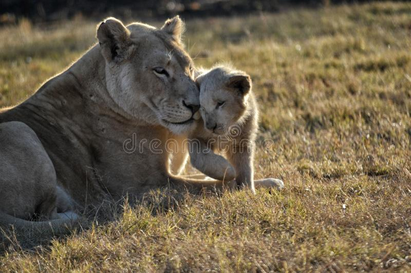 Lioness and cub lounging in the Sun. Lioness and her cub snuggling and lounging in the Sun in South Africa royalty free stock photography