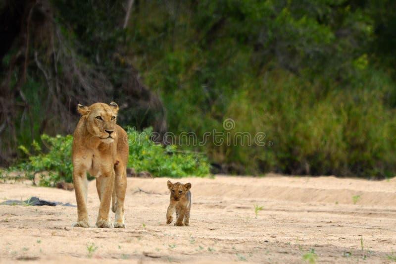 Lioness & Cub (Panthera leo) stock images