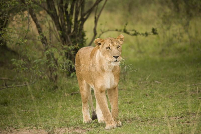 A lioness and a cub walking in the African bush. A lioness and her cub walking in the African bush stock image