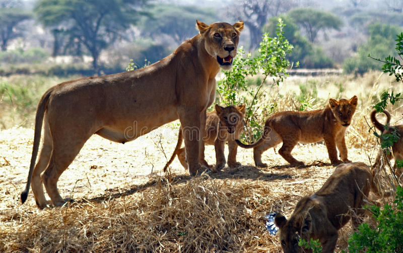 Lioness with cubs. Mother lioness with her two cubs. Ruaha National Park, Tanzania stock photos