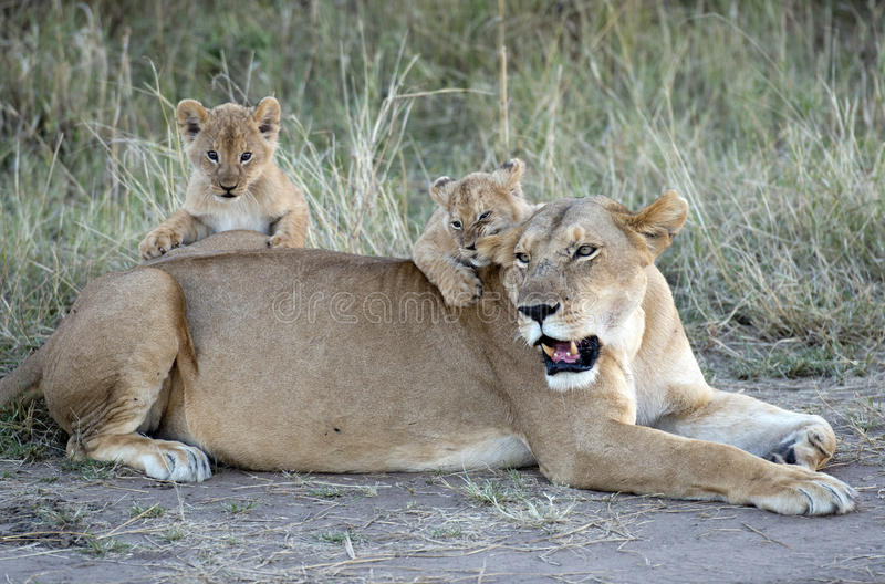 Lioness with cubs. Africa kenya Masai Mara reserve lioness with two cubs royalty free stock images