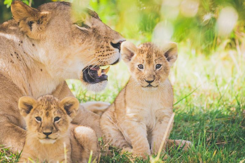 Lioness and cubs in Africa. Wildlife, safari, wild animals, cubs, family, mother and sons, predator concept stock images