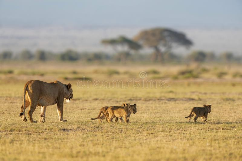 Lioness with 3 cubs, Amboseli, Kenya, Africa. Lioness with 3 cubs at Amboseli in Kenya, Africa stock photos