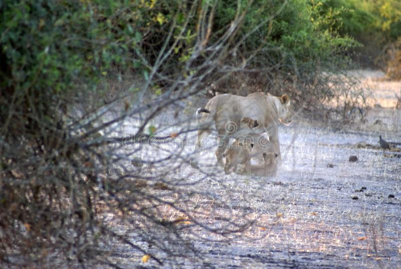 Lioness with cubs. In Chobe National Park, Botswana, in the morning royalty free stock images