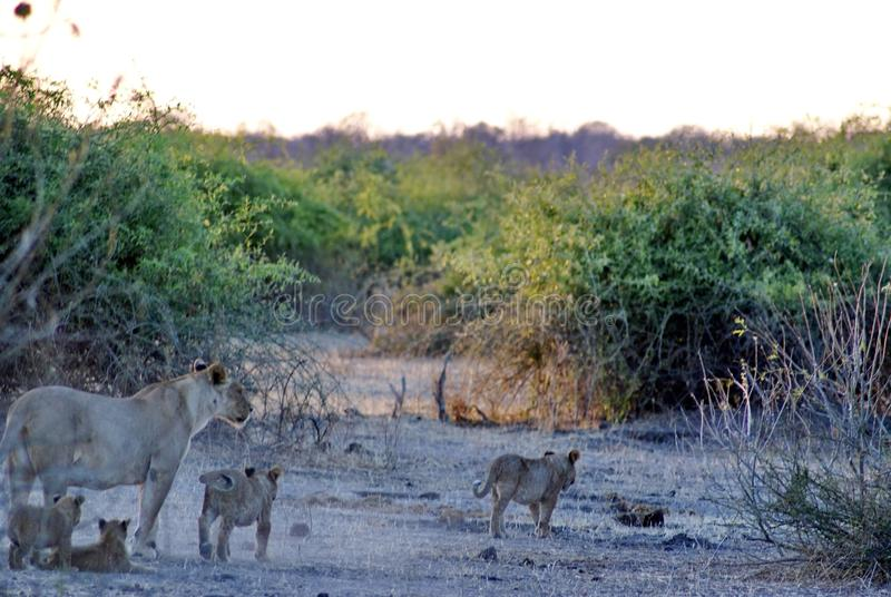 Lioness with cubs. In Chobe National Park, Botswana, in the morning royalty free stock photography