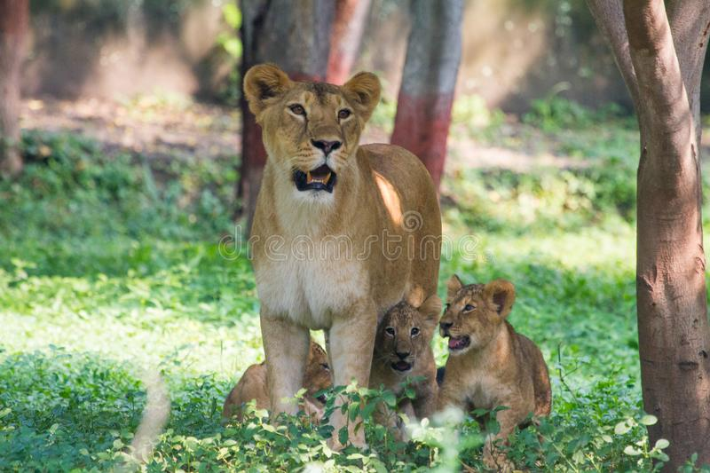 Lioness With Cubs. A lioness gazing at camera with her three young cubs royalty free stock photos