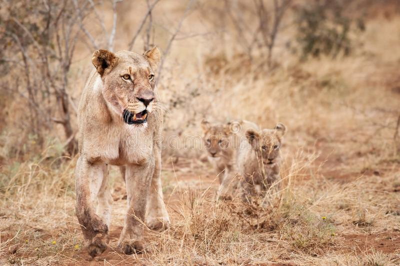 Lioness with cubs. The lion is one of the big cats in the genus panthera and a member of the family felidae. Lioness with two cubs in they natural habitat royalty free stock image