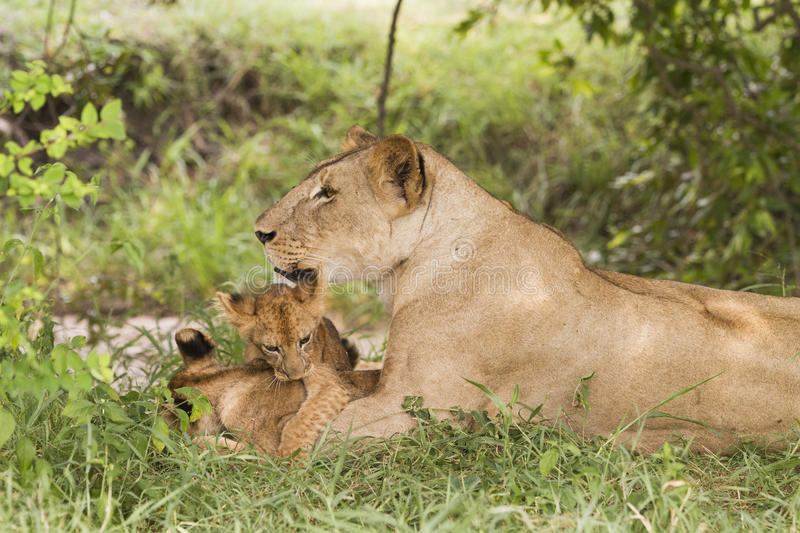 Lioness with cubs (Panthera leo) stock photography