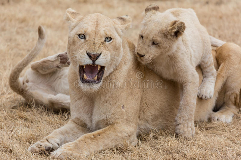 Lioness with cubs. Ready to defend her young cubs this lioness is staring at me with her bright blue eyes showing her teeth stock image