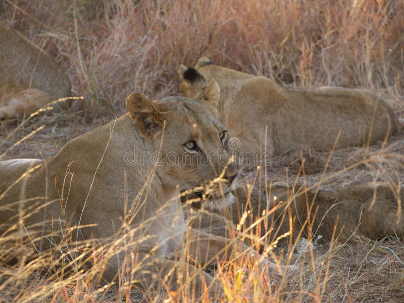 Lioness with cubs. A lioness takes a break from suckling a litter of young cubs, with an older litter in the background stock image