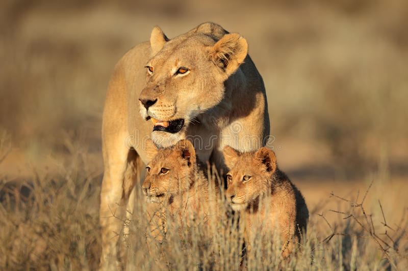 Lioness with cubs. Lioness with young lion cubs (Panthera leo) in early morning light, Kalahari desert, South Africa royalty free stock images