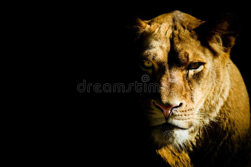Lioness from the dark royalty free stock photos