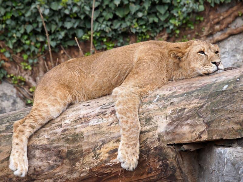 Lioness di sonno immagine stock libera da diritti