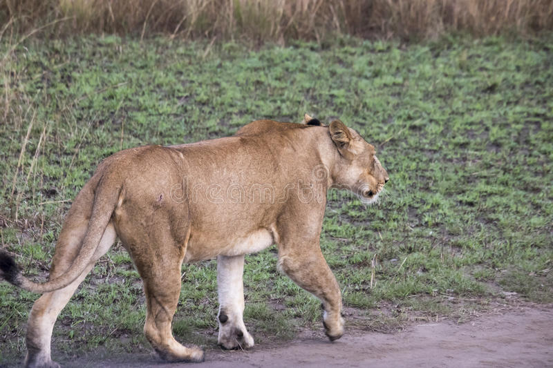 Lioness on dirt road Queen Elizabeth National Park, Uganda royalty free stock photography