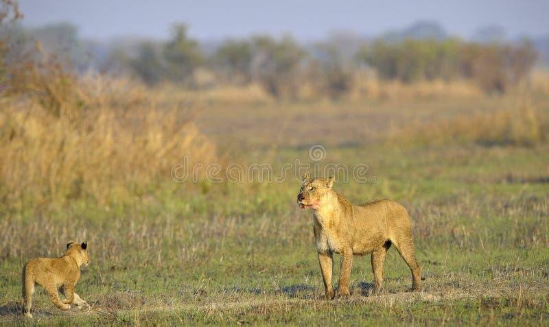 Lioness dopo la caccia con i cubs. immagini stock