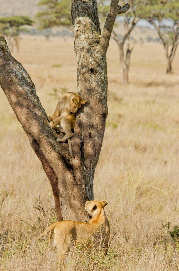 Lioness e Cub di Serengetti fotografie stock