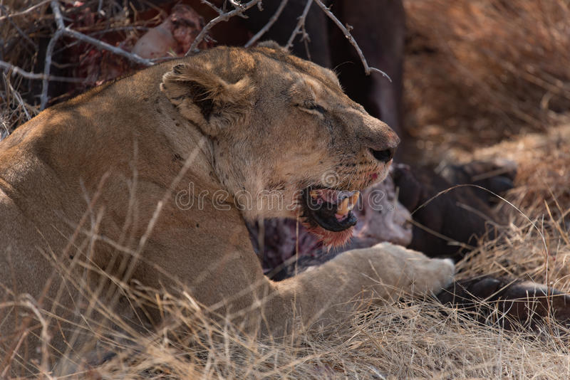 Lioness eating on the carcass of a buffalo in the Ruaha national royalty free stock photos