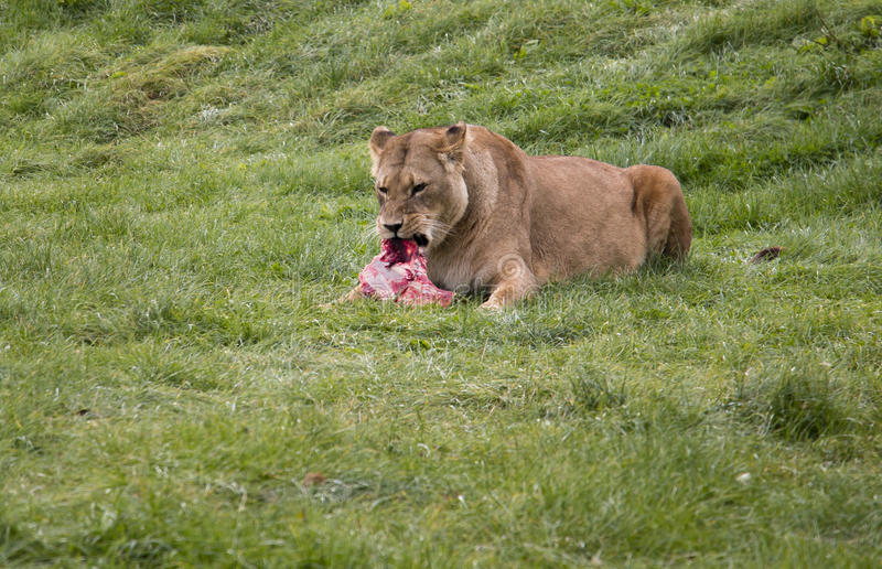 Lioness eating its prey stock image