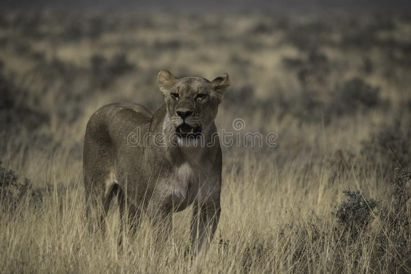 Lioness in the ethosha national park. Looking for prey stock photography
