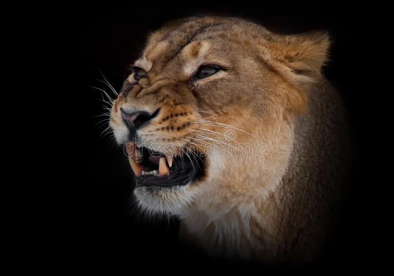 growls muzzle close up. evil eyes and powerful fangs. Isolated on black background stock photography
