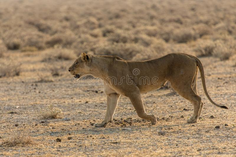 A lioness follows a trail in Etosha Park in Namibia. This lioness will join her cubs after an unsuccessful hunt to feed them. Scene seen and photographed in stock image