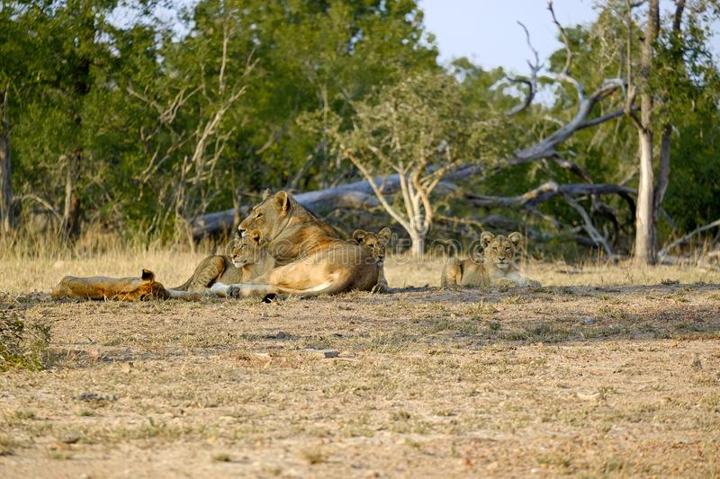 One lioness with four cubs laying down resting. Lioness with four cubs laying down resting royalty free stock image