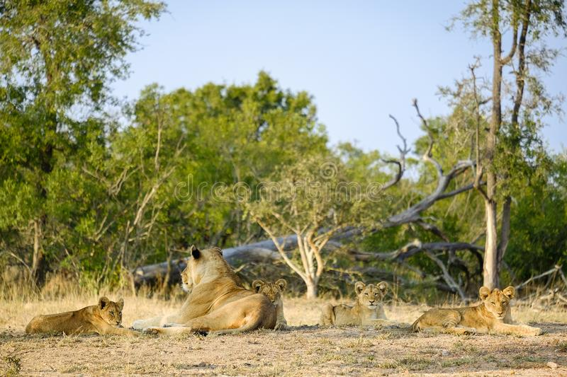 One lioness with four cubs laying down resting. Lioness with four cubs laying down resting royalty free stock images