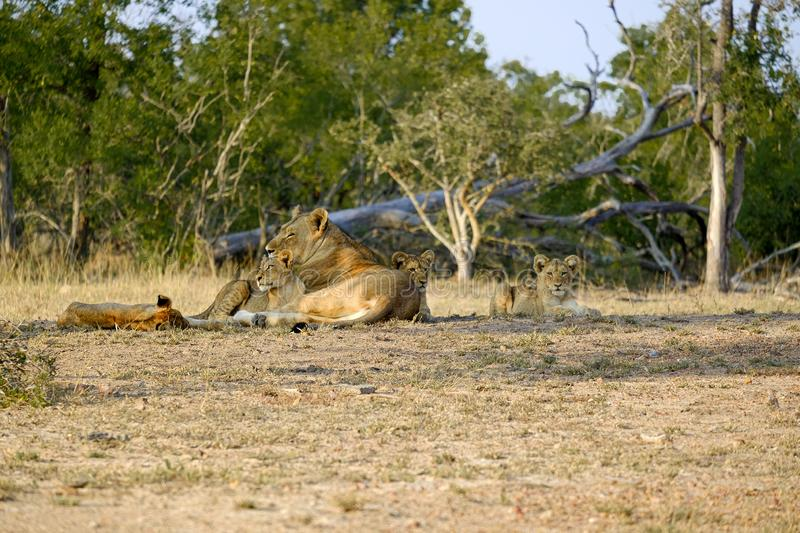 One lioness with four cubs laying down resting. Lioness with four cubs laying down resting stock photo