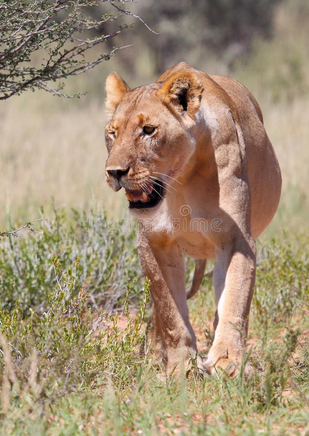 Download Lioness in grass stock image. Image of down, teeth, lioness - 14027265