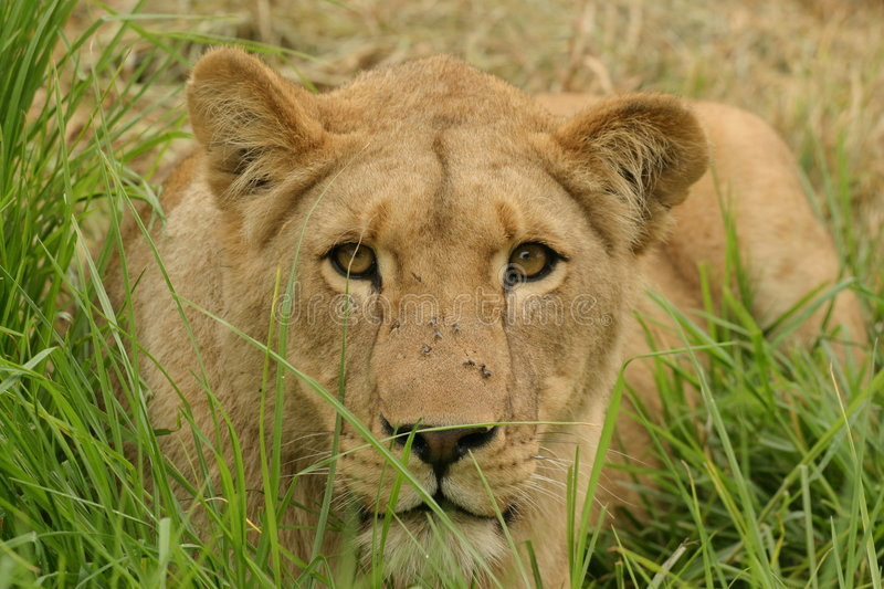 Lioness in grass royalty free stock photography