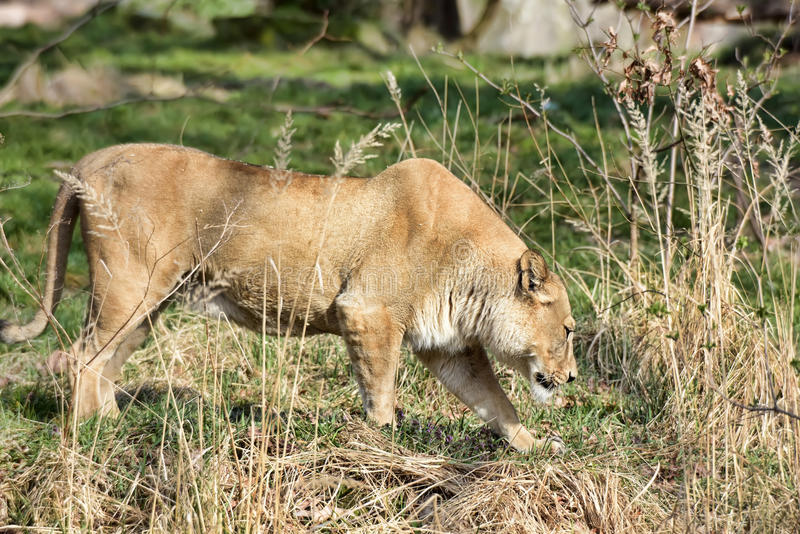 Lioness in the grass stock photos
