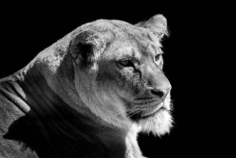 Lioness head on black background stock photo