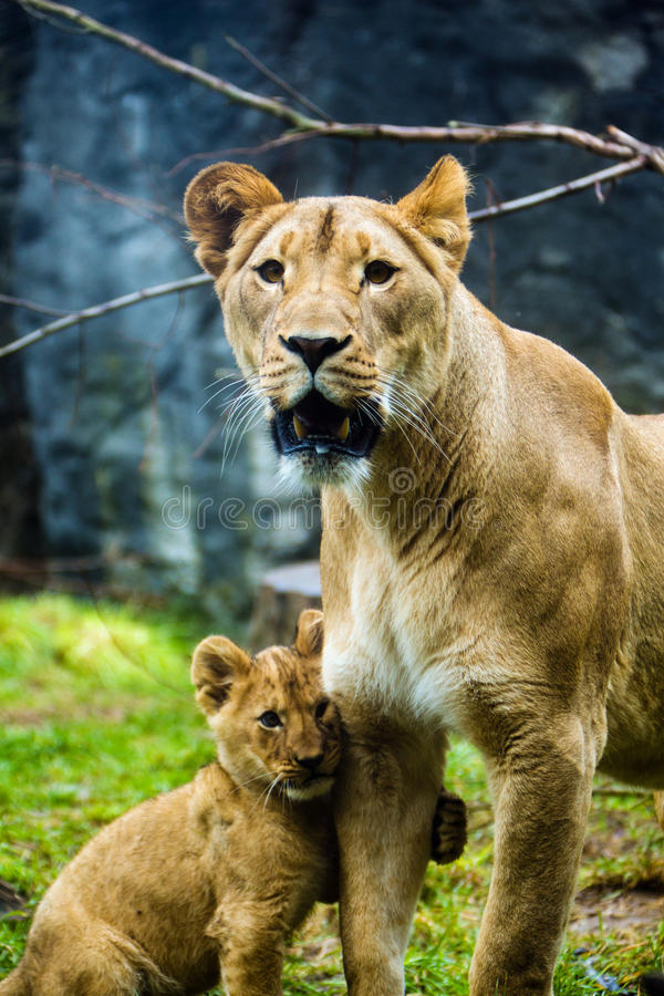 Lioness and her cub stock photos