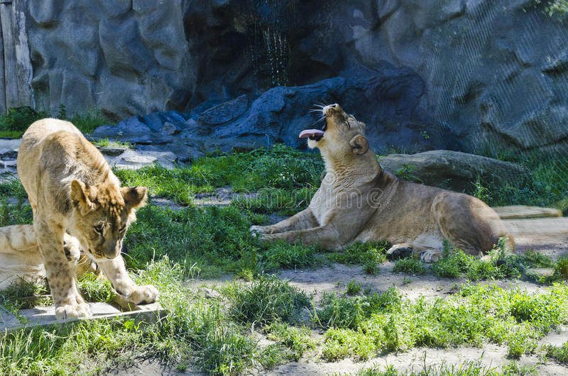 Lioness and her cub royalty free stock image