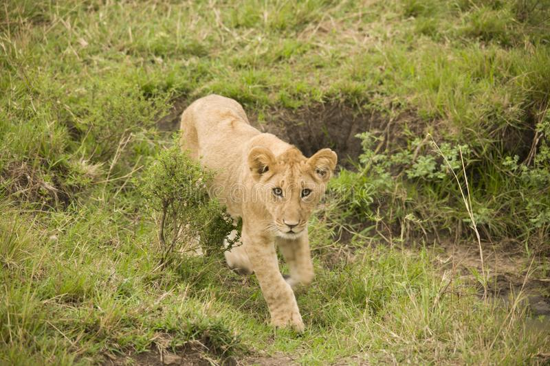A lioness and a cub walking in the African bush. A lioness and her cub walking in the African bush royalty free stock photos