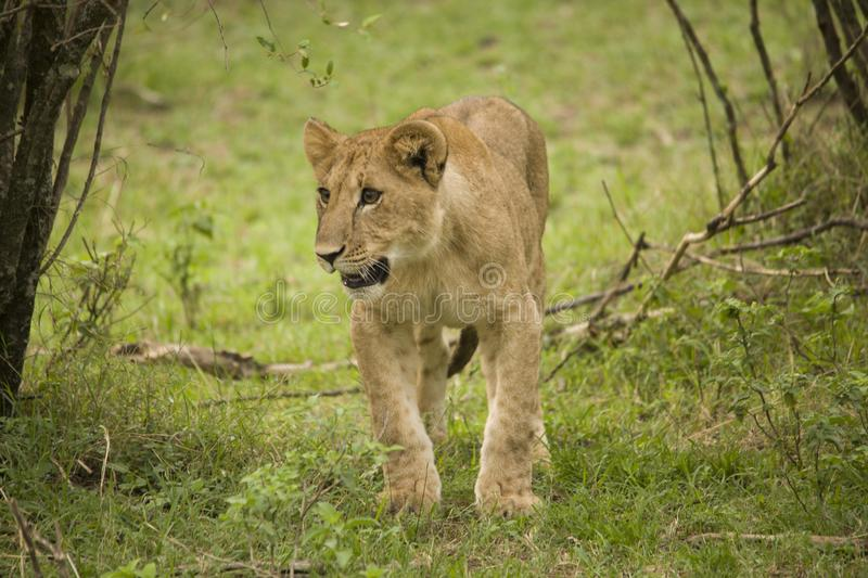 A lioness and a cub walking in the African bush. A lioness and her cub walking in the African bush stock photography
