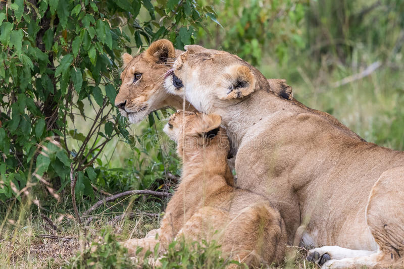Lioness with her cubs. Lioness licking one of her cubs in the savannah royalty free stock images