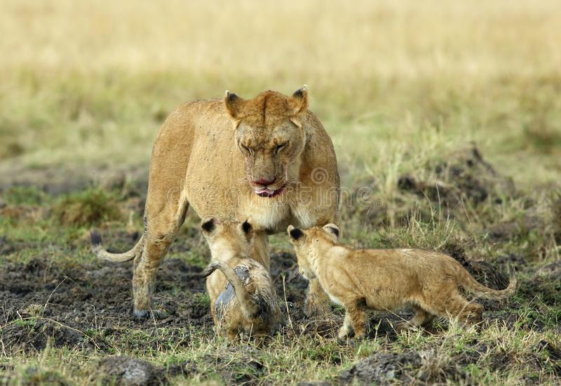 Lioness with her cubs. Lion is one of the four big cats and belongs to genus Panthera royalty free stock photos